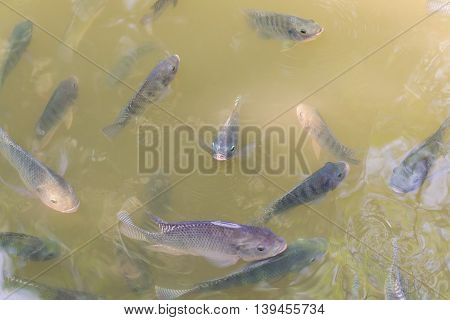 Many Tilapia Fish in the fish ponds.
