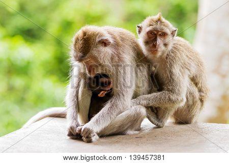 Sleeping monkeys. Monkey forest in Ubud Bali Indonesia.