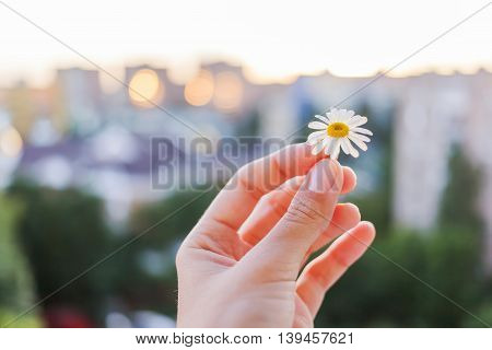 Concept photo of camomile flower in women's hand on cityscape background. Nature in town. Summer sunset.