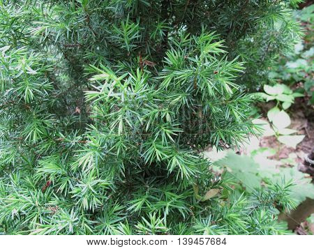 Common juniper, Juniperus communis, in herb garden