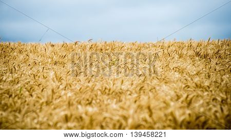 Summer Landscape With Wheat Field And Clouds