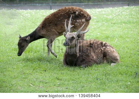 Male and Female Philippine Spotted Deer (Rusa alfredi)
