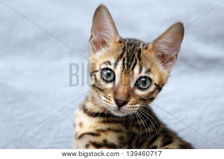 Small bengal kitten isolated on blue backdrop.