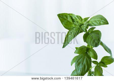 Leaf of the basil