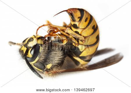 Bee Or Wasp Macro