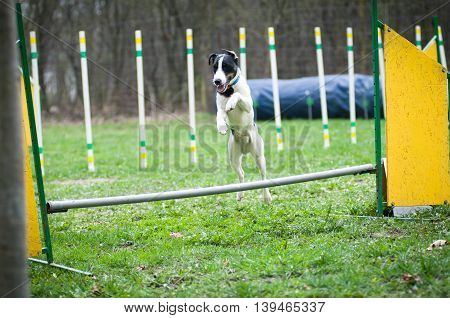Agility with fox terrier slalom and jumping