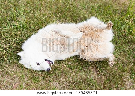 Funny white dog lying on his back on the grass
