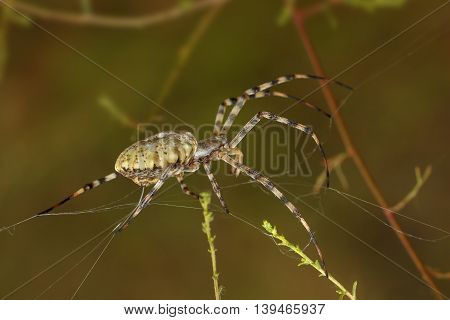 Closeup Spider-squash (argiope lobata) spinning a web among the grass