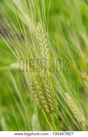 Unripe ears of green rye in the field close-up; vertical image
