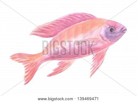 red African cichlid. Exotic decorative fish on a white background. Watercolor painting