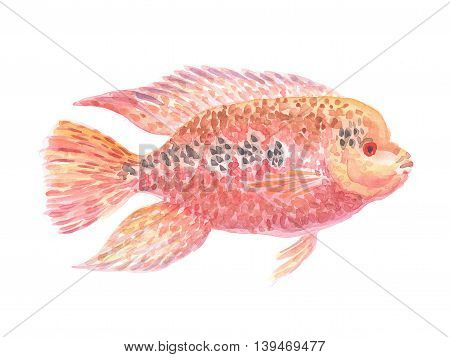 red American cichlid. Exotic decorative fish on a white background. Watercolor painting