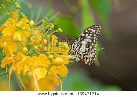 Soft focus of Lime Butterfly in brown and yellow bands with blue spots feeding on yellow flowers of Caesalpina in Thailand, Asia (Papilio demoleus)