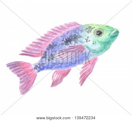 African cichlid. Exotic decorative fish on a white background. Watercolor painting