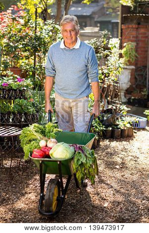 Portrait of mature male gardener carrying organic vegetables in wheelbarrow at garden