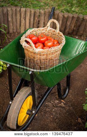 High angle view of fresh organic tomatoes basket in wheelbarrow at garden