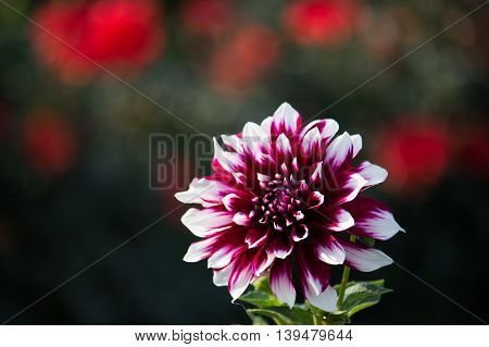 dahlias flowers on blured background in summer garden
