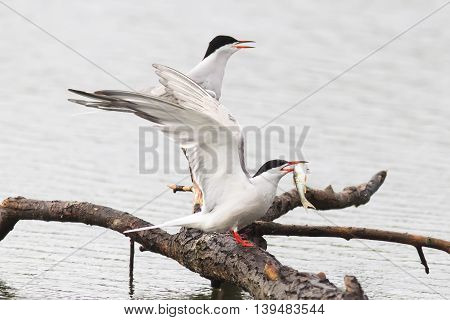 two white seagulls catch fish in the lake