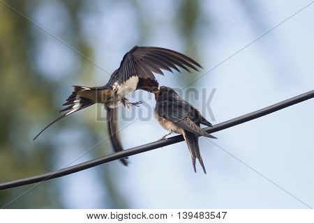 bird swallow feeds her hungry Chicks on the wires