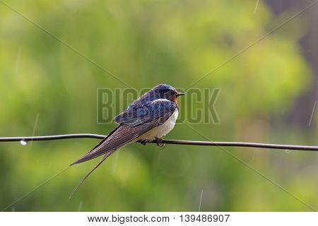 Swallow on a wire in the rain, summer, summer rain, wet bird