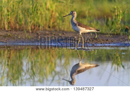sandpiper and its reflection in water, sunrise, summer, common greenshank