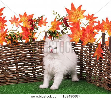 Cute fluffy kitten near decorative wattle fence over white background