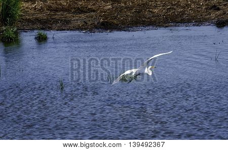 An Egret flies over the waters of the Salt Marshes in NJ