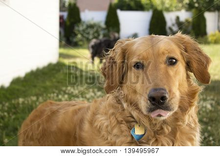 Golden Retriever outside close-up looking at camera with tongue out