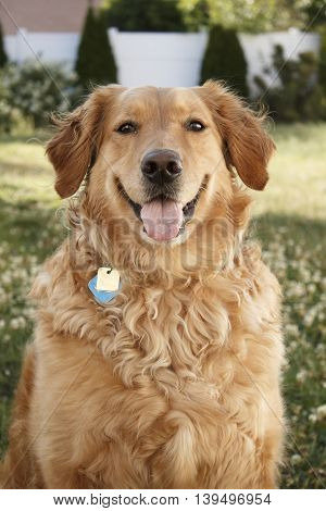 Golden Retriever dog portrait centered outside in yard