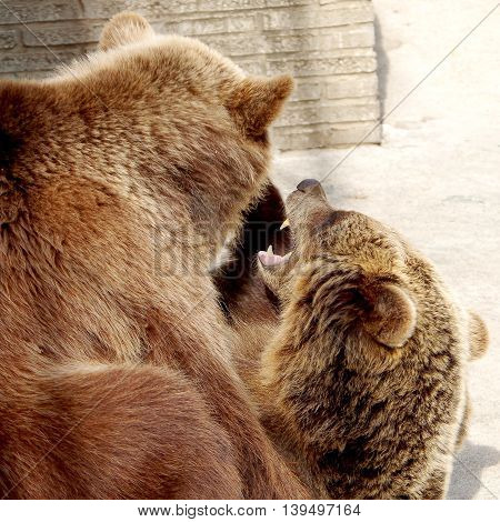 Two brown bears playing in a captivity