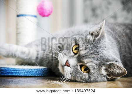 British cat is sleeping on the floor. cat look. Focus on the eyes. vignetting conceived as an artistic effect