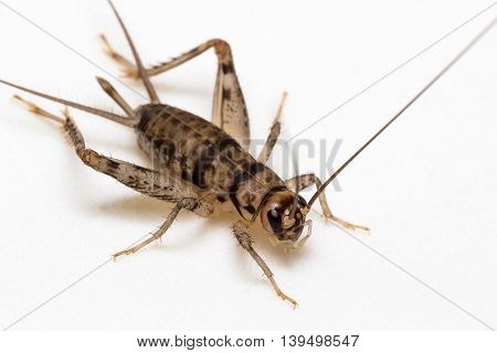 The insect House Cricket on white background