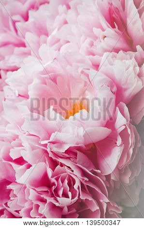 Beauty bunch of pink peonies peony flowers. Floral background. Spring or summer lovely bouquet. Bloom love concept. Card text place copy space. Wallpaper