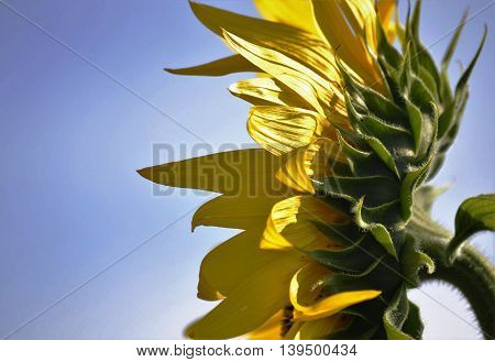head is a side view of a sunflower on blue sky background