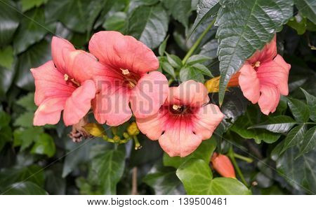 Scarlet flowers close-up with a long pestle on green background