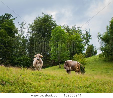 White and brown cows on green field