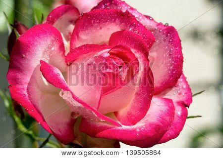 Close up of pink rose petal and water drops .Macro Shot of a pink Rose.
