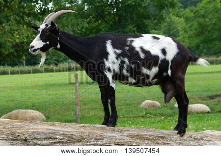 Black and white goat standing on tree trunk