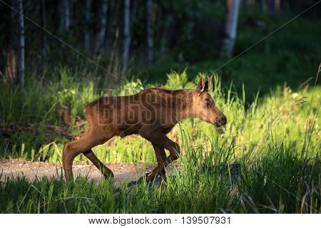 Moose calf in the morning light in Alaska