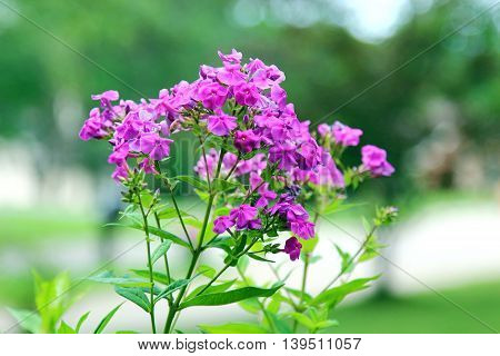 A bunch of pink Phlox flowers in summer