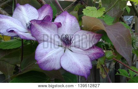 Delicate climbing purple hint and white clematis flowers