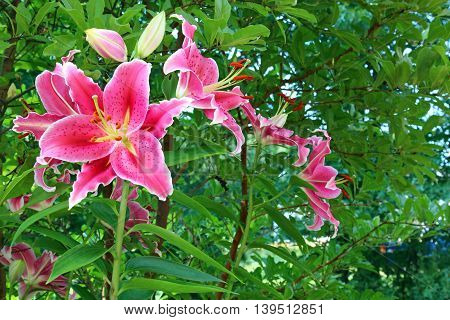 Pink Tiger Lilies with copy space in summer season