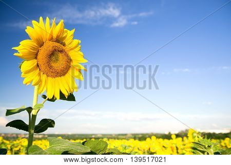 Sunflower growing on a farm field in the sun.