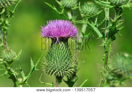 Arctium lappa. Burdock, burdock, burr - type of perennial herbaceous plants of the genus Burdock family Asteraceae.