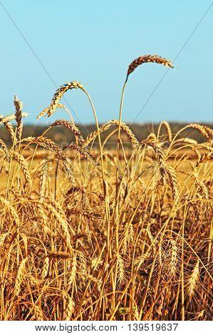 Ripe wheat ears on field against blue sky taken closeup.