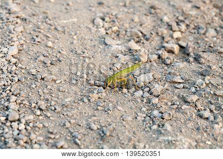 Green grasshopper - locust on stony ground