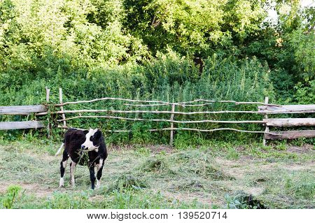 Black and white young bull in a pen.