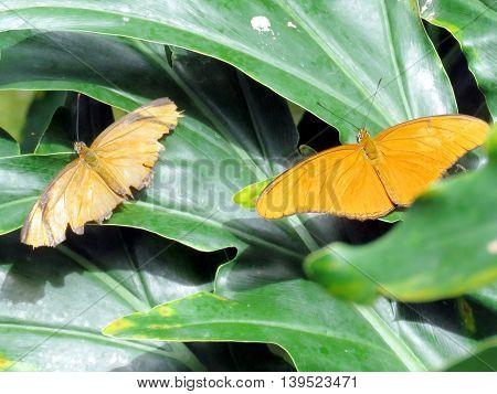 Julia butterfly on a green in garden of Niagara Falls Ontario 16 July 2016 Canada
