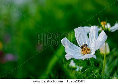 Bee pollinates yellow nectar of white blossom