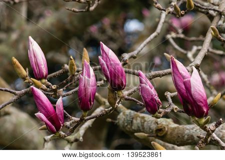 detail of purple magnolia buds and flowers