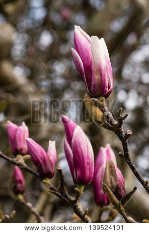 close up of purple magnolia liliiflora flowers